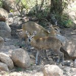 Cute Klipspringers may be as elusive as leopards