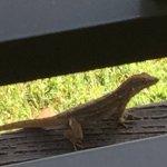 My friendly chameleon visits the balcony.