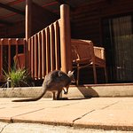 Wallaby Checking into a Courtyard Suite