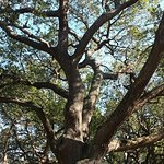One of the beautiful live oaks.