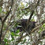 Australian Brushturkey on tree?