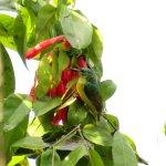 Collared Sunbird at Aburi