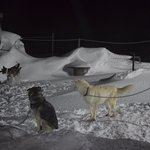 Foto de Svalbard Husky