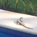 Daily visitor across the lazy river from our room