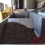Peppers going to conveyor