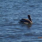 This Brown Pelican just dove for a fish