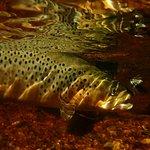 Bi-catch,  Brown trout