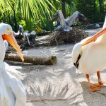 White pelicans dancing around in aviary