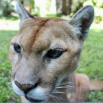 Beautiful Anne Marie, Florida Panther