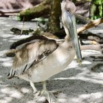 Injured Pelican, missing foot, has his permanent home here!
