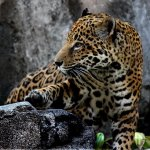 The Houston Zoo is a 55-acre zoological park located within Hermann Park in Houston, Texas.
