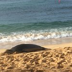 Hawaiian Monk seal at beach around the point