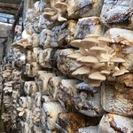 local families learned mushroom farming skills from an NGO to make a living.