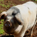 Suzanne the Gloucester Old Spot Pig
