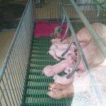 Sow feeding cubs