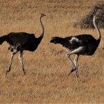 Ostriches on the Kalahari