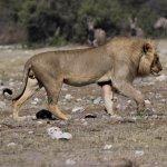 Lions of Etosha Namibia