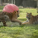 Tigers playing in their habitats