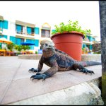 Endemic Marine Iguana posing on our pool deck