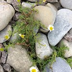 Flowers in the pebbles