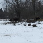 Bison in winter.