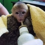 Bottle feeding Uhura, baby capuchin monkey.