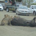 Buffalo kill.