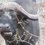 An alive buffalo.