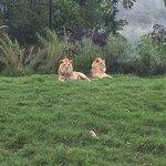 Beautiful lions
