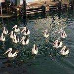 Breakfast for Pelicans at D'Albora Marina