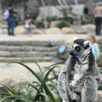 Free-ranging lemur enclosure