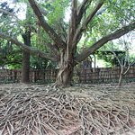 A unique tree with roots all over the ground surface