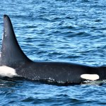 large male Orca