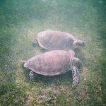 Two sea turtles eating breakfast!