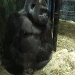One of the adult male Gorillas