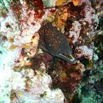 Inquisitive moray eel