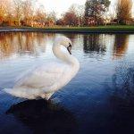Swan visiting Rowntree Park York