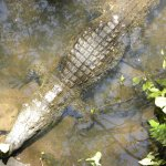 Resident crocodile below restaurant seating area. They even had mist coming from trees to make i