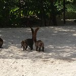 These Coati were cute until they stole my bag!