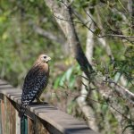 hawk along the board walk