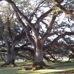 Giant Oak Trees
