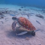 """Snorkeling with the """" Turtles """""""
