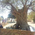 Árbol de olivo más antiguo