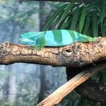 Live lizard