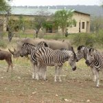 White rhino, wildebeest and zebras on Pidwa reserve