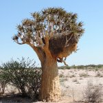 Quiver tree with sociable weavers' nest