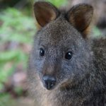 Never too far from nature cute Pademelon outside our cabin