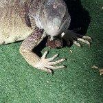 piscina, Riu Antillas, las iguanas son parte de esta increible isla