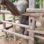 Maxiam, the baby elephant.