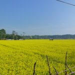 mustard fields near the city